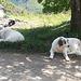 Müde Hunde in le Serre.