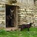 Prächtige Nera Verzasca Ziegen auf der Alp de Crasteira