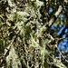 Flechten an den Bäumen