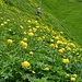 Äbnenmatt mit tausenden Trollblumen