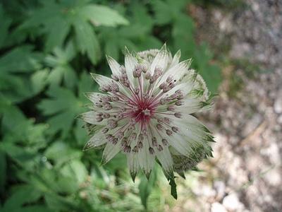 Astranzia Maggiore ( Astrantia biebersteinii )
