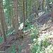 Abkürzung der Forststraße über einen Jagdsteig