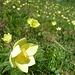 Schwefelanemonen - wirklich schöne Blumen!