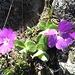 ... zu unzähligen kleinen Schönheiten auf dem Gratrücken ...