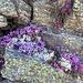 Blumenpolster in Felsritzen