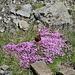 Sommervogel auf Blumenpolster
