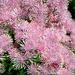 Blumen die ich vom Namen her nicht kenne. Dank dem Tipp von Priska, es ist die Akeleiblättrige Wiesenraute