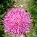Hier eine Alpendiestel bei voller Blüte