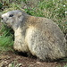 another Marmotta