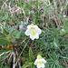 Alpen-Fettblatt (Pinguicula alpina)