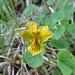 Gelbes Berg-Veilchen (Viola biflora)