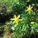 Osterglocke (Narcissus pseudonarcissus)