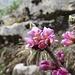 Echter Seidelbast (Daphne mezereum)