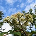 Blüten der Eberesche (Vogelbeere)