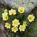 Schwefelblütige Anemone