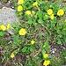Geum montanum L.<br />Rosaceae<br /><br />Cariofillata montana.<br />Benoite des montagnes.<br />Berg-Nelkenwurz.