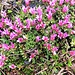 Petrocallis pyrenaica (L.) R.Br.<br />Brassicaceae<br /><br />Petrocallis dei Pirenei.<br />Pétrocallis des Pyrénées.<br />Steinschmückel.