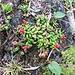 Loiseleuria procumbens (L.) Desv.<br />Ericaceae<br /><br />Loiseluria.<br />Azalée des Alpes.<br />Alpenazalee.
