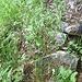 Gradini sul vecchio sentiero dall'Alpe Forno a La Pianezza