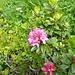 so langsam blühen auch die Alpenrosen