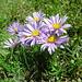Der Hohgant ist bekannt für die Blumenpracht