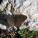Braunscheckauge (Lasiommata petropolitana)