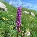 Männliches Knabenkraut (Orchis mascula)