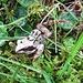 Grasfrosch (Rana temporaria)