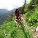 Schwärzliches Knabenkraut (Orchis ustulata)