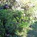 i rododendri cominciano a fiorire