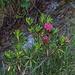 Alpenrosen an der Suoen Gsponeri