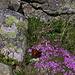 Schmetterlinge (hier auf knapp 2800 m) lieben die Polsternelken /