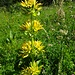 Gelbe Enziane in voller Blüte