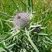 Die Wollköpfige Kratzdistel, noch vor dem Blühen