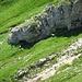ein Rudel Steinböcke, leider weit entfernt