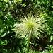 Verblühte Anemone, immer noch grün