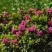 Alpenrosen sind zahlreich vertreten und in voller Blüte.