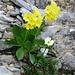 Die Engelhörner sind nicht nur ein Kletterparadies, sondern auch ein prächtiger Felsengarten: Flueblüemli und Alpen-Hahnenfuss auf der Rampe