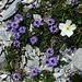 Herzblättrige Kugelblumen und Alpen-Hahnenfuss im Blumenparadies des Hohjegiburg W-Grats