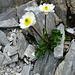 Alpen-Hahnenfuss am Hohjegiburg W-Grat