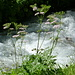 Zurück im Rosenlaui: wogende Schafgarben über dem vom Klein Wellhorn herunterperlenden Schmelzwasserbach
