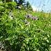 Magerwiesen mit vielen schönen Blumen