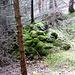 Der Wald nimmt wieder Besitz - Lesesteinhaufen im Tannenwald - wie viele Hände, wie viele Generationen hatten sich abgemüht …