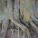 Der Baum ist ca. 800 Jahre alt