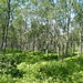 Schöne Birken und Farmwälder im Storådalen