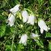 die selteneren weißen Glockenblumen