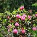 Alpenrosen im Sonnenlicht