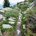 Alpenrosen und Koniferen sind ständige Begleiter
