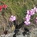schöne Bergblumenkombination ...