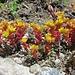 wunderschön farbiger Mauerpfeffer